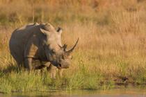 Nashorn in Botswana