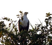 Fish Eagle Botswana