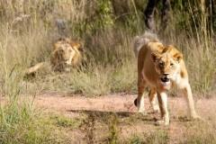 Löwin auf Jagd Botswana