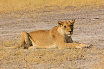Löwin, Botswana