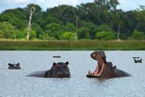 Nllpferde in Botswana