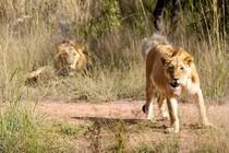 Löwin in Botswana