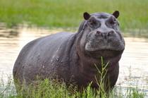 Nilpferd Botswana