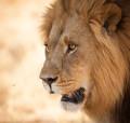 Löwe in Botswana