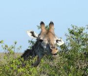 Masai Mara, Giraffe