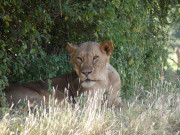 Löwin im Samburu Nationalpark
