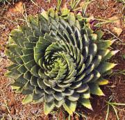 Lesotho, Spiral Aloe