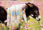 Lesotho-Pony