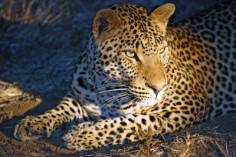 Leopard in South Luangwa