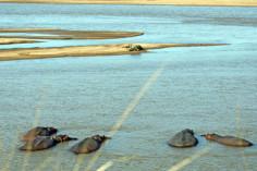Sambia, Nilpferde