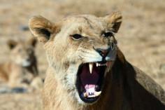 Löwin in Simbabwe