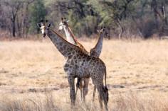 Giraffen in Simbabwe