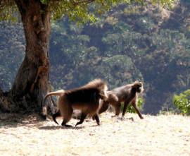 Paviane in Äthiopien