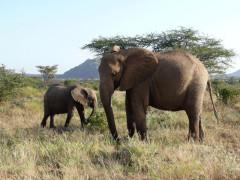 Elefanten in Samburu, Kenia