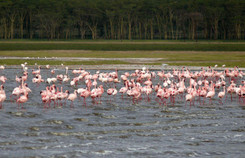 Flamings auf Lake Nakuru, Kenia