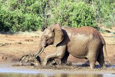 Elefant, Kenia