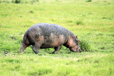 Flusspferd in Kenia