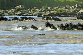 Tansania, Gnus Migration