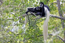 Colobus Affen, Tansania