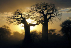Baobabs in Tansania