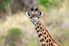 Giraffe in Tansania