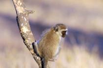 Kleine Affe in Tansania