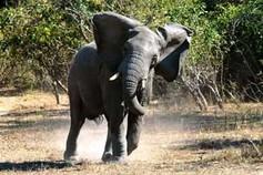Elefant in Malawi