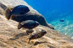 Fische im Malawi See