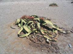 Welwitschia Drive, Namibia