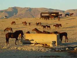 Wilde Pferde in Aus