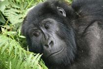 Lake Kivu, Serena Hotel, Gorilla Tracking