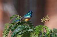 Reisen Ruanda Rwanda Vogelbeobachtung birding