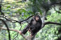 Ruanda Primaten Rwanda