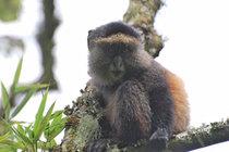 Ruanda golden Monkeys Goldmeerkatzen
