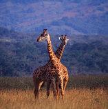 Akagera Nationalpark Gamedrive Ruanda Rwanda